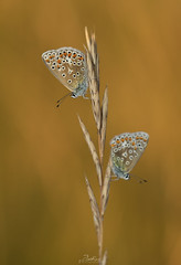 Two Blues (....Daniel....) Tags: add tags nikond810 macro coth5 nikkor outside naturephotography 2019 green ocre mariposas butterflies grassland red sigma150mm malecommonblue lycaenidae lepidoptera polyommatusicarus female common blue stroud