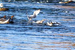 Fight! (sibnet2000) Tags: waterbirds merganser seagull fight wildlife conflict yakimariver easternwashington