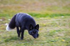 Black Fox on Prowl (Dan King Alaskan Photography) Tags: redfox fox blackfox rare vulpesvulpes hunting predator wildlife protectwildlife preservewilderness canon80d sigma150600mm