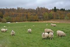 lam (KvikneFoto) Tags: nikon1j2 landskap høst autumn fall lam lamb