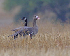 Greater White-fronted Goose (Keith Carlson) Tags: greaterwhitefrontedgoose
