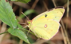 Orange Sulphur at Capik Nature Preserve (Tombo Pixels) Tags: capik192788 orangesulphur orange sulphur butterfly capikpreserve capiknaturepreserve nj newjersey twb1 pinelands pinebarrens