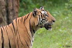 Profile of the King. . . (Rakesh Kumar Dogra) Tags: rakeshkumardogra dogra naturephotography nature mammalia mammals tiger panthera tigris wildlife wild canon7dmarkii tamron150600g2