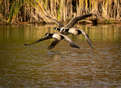 A couple of Canadians (SusieMSB7) Tags: nature birds canadian geese goose