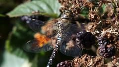 Migrant Hawker (Nick:Wood) Tags: migranthawker aeshnamixta cuttlepoolnaturereserve warwickshirewildlifetrust templebalsall dragonfly macro male nature