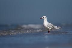 Observer (VintageLensLover) Tags: möwe seagull seevögel vögel nordsee holland zeeland natur outdoor burghhaamsteede strand birds dof schärfentiefe schärfeverlauf bokeh olympus em1 zuiko40150f28pro mc14 telekonverter