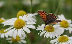 Le cuivré fuligineux (passionpapillon) Tags: macro insecte butterfly papillon nature fleur flower bokeh color passionpapillon 2019 lecuivréfuligineux lycaenatityrus sony ilce6300 macrogoss fe90mmf28 ngc