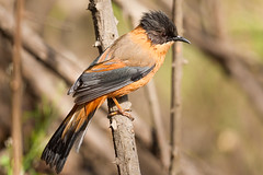 Rufous Sibia (Rajiv Lather) Tags: vögel birds birding nature wildlife aves avifauna vogelstand birder birdwatching india indian outside avian himalayas hills forest trees