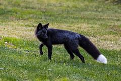 Black Fox (Dan King Alaskan Photography) Tags: blackfox redfox fox vulpesvulpes rare ebony wildlife wild protectwildlife preservewilderness interioralaska alaska canon80d sigma150600mm
