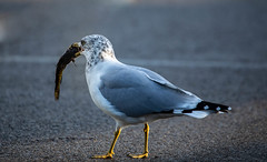 Breakfast! (SusieMSB7) Tags: seagull gulls nature birds outdoors