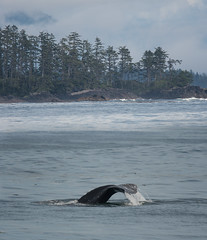 Grey Whale (Tim Melling) Tags: grey gray whale eschrichtius robustus canada vancouver island tofino timmelling