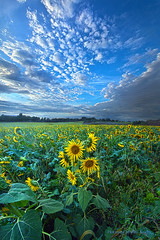 Flowers of the Sun (Phil~Koch) Tags: sunflowers life mood emotions country rural outdoors colors living heaven weather horizons lines landscape art meadow sky sunset clouds scenic vertical photography office portrait serene morning dawn nature natural environment inspired inspirational season beautiful hope love joy dramatic unity trending popular canon fineart arts shadow sun sunrise light peace wisconsin shadows endless earth sunlight horizon pastel summer yellow flower farming agriculture