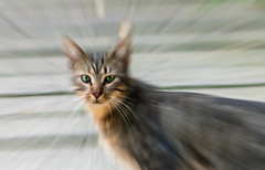 Ojos de Gata callejera - stray cat´s eyes (munover) Tags: animal gato