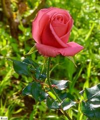 Flor rosa- Rose Flower (In Dulce Jubilo) Tags: fotografía flor flores flowers colors colores rosa rose naturaleza nature bokeh belleza photography nice linda jardin garden verde green andalucia andalusia espagne españa spanien spain