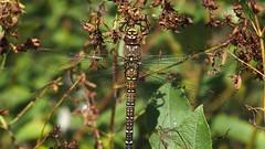 Migrant Hawker (female) (Nick:Wood) Tags: migranthawker aeshnamixta female cuttlepoolnaturereserve warwickshirewildlifetrust templebalsall dragonfly nature