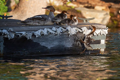 Almost... There... (hardaker) Tags: echolake action attempt baby cute dock duck ducklings effort family fuzzy jump lake merganser mom nature persistent try water wildlife young tofb