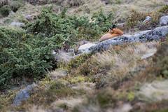 La sieste du Renard.. (Théo.Carlin) Tags: renard fox
