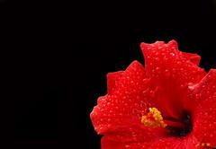 Red Hibiscus in the Rain 1 - Ka'anapali, Maui (Barra1man (Very Busy)) Tags: redhibiscusintherain1 redhibiscus red hibiscus garden tropical flower tropicalflower rain raindrops water wet showers kaanapali maui hawaii unitedstates olympus olympusem1 iso800 lens300mm f6312500