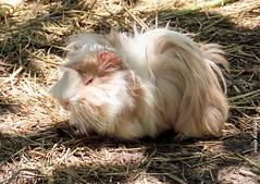 Sábado-animal (sonia furtado) Tags: sábadoanimal animal mamífero porquinhodaíndia porquinhodaíndiasheltie soniafurtado frenteafrente