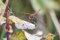 Common Darter (ejwwest) Tags: