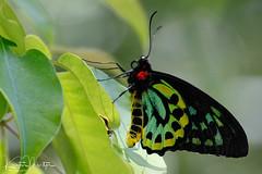 Cairns Birdwing (Ornithoptera euphorion) (KristenMartyn) Tags: australia invertebrates invertebrate insect arachnid travel ecotourism butterfly butterflies leps ornithopteraeuphorion birdwing cairnsbirdwing lepidoptera