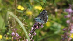 Common Blue (Nick:Wood) Tags: commonblue polyommatusicarus haywood warwickshire butterfly nature blue