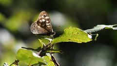 Speckled Wood (Nick:Wood) Tags: speckledwood parargeaegeria cuttlepoolnaturereserve warwickshirewildlifetrust templebalsall butterfly woodland sunlight nature leaves