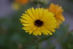 1807 (AlainC3) Tags: fleurs flowers nikond7500 marco nature plante afmicronikkor60mmf28d dof