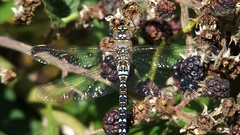 Migrant Hawker (male) (Nick:Wood) Tags: migranthawker aeshnamixta male cuttlepoolnaturereserve warwickshirewildlifetrust templebalsall dragonfly nature macro