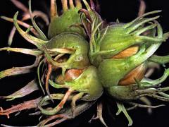 Stranger Hazel (Nick_Fisher) Tags: hazel cluster nut nickfisher zerene stacked stack easy hdr olympus omd em10 mark ii olympusomdem10markii