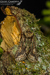 Green-brindled Crescent (Allophyes oxyacanthae) (gcampbellphoto) Tags: greenbrindled crescent allophyes oxyacanthae insect moth macro nature wildlife north antrim gcampbellphoto