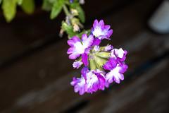 Flower Macro (BeerAndLoathing) Tags: usa macro 35mm rf35mmf18macroisstm closeup flower plant canoneosrp canon 2019 september rp