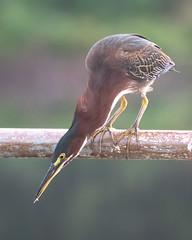 Green Heron in a Local Park (Mark Schocken) Tags: butoridesvirescens greenheron schockenphotography markschocken