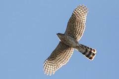 Cooper's Hawk (Accipiter cooperii) (sparverius81) Tags: nature naturaleza wildlife birds aves pájaros passaros flight vuelo volando birdsofprey raptors avesrapaces rapaz gavilán accipitridae