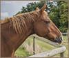 Horse portrait DSC_3873