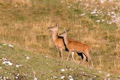 Red Deer and her Fawn //  Biche et son Faon // Cerf Elaphe / Red Deer / Cervus Elaphus (PriscillaHernandez85) Tags: alpes alpesfrancaises animauxsauvages canon550d cerfelaphe cervuselaphus drome faon france frenchalps nature reddeer tamron18400 vercors biche deer eos550d fawn mammal wildlife wildlifephotography mammifere autumn automne saisondubrame mammifère