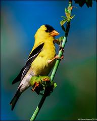 American Goldfinch (Spinus tristis) (Steve Arena) Tags: westborowma westborowildlifemanagementarea westboro westborough americangoldfinch spinustristis bird birds birding worcestercounty massachusetts 2019 nikon d750
