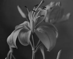 Flower - 2 (Rafael Baptista) Tags: 150mm f35mamiya auto macro spacerultrafine extreme 400flower mamiyam645 m645 mamiya flower blackwhite blackandwhite