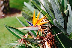 Bird of Paradise, Orlando, FL (Andy Ziegler) Tags: orlando florida orlandoflorida travel canon6d vacation universalorlando flower birdofparadise nature color
