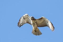 Red-tailed Hawk (Buteo jamaicensis) (sparverius81) Tags: nature naturaleza wildlife birds aves pájaros passaros flight vuelo volando birdsofprey raptors avesrapaces rapaz gavilán accipitridae
