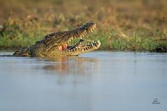 Jaws of Death (Glatz Nature Photography) Tags: africa botswana choberiver glatznaturephotography nature nikond850 wildanimal wildlife crocodylusniloticus nilecrocodile crocodile croc jaws teeth water river reptile