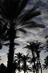 Orlando, Florida. (Andy Ziegler) Tags: orlando florida orlandoflorida travel canon6d vacation universalorlando 50mm palmtrees resort silhouette trees nature