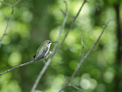 Oh how she blends (Wicked Dark Photography) Tags: wisconsin animal animals bird critters hummingbird kayaking nature paddling summer wildlife
