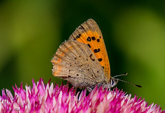DSC6201  Small Copper... (Jeff Lack Wildlife&Nature) Tags: smallcopper butterflies butterfly lepidoptera insects insect nature naturephotography nikon nectaring marshland marshes moors macro verges heathland hedgerows heathlands heaths fields flowers wildlife wildlifephotography wildflowers grasslands ngc npc