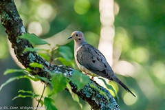 Mourning Dove 2 (DL_Dietz) Tags: birds canoneos5dmarkiv doves kensingtonmetropark livingstoncounty michigan mourningdove nature naturephotography northamerica summer unitedstates wildlife wildlifephotography
