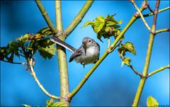 Blue-gray Gnatcatcher (Polioptila caerulea) (Steve Arena) Tags: westborowma westborowildlifemanagementarea westboro westborough bluegraygnatcatcher gnatcatcher polioptilacaerulea bird birds birding worcestercounty massachusetts 2019 nikon d750