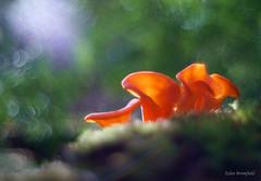 Orange Psychedelia - Apricot Jelly Fungus (Guepinia helvelloides) (Eden Bromfield) Tags: apricotjellyfungus meyeroptikgörlitzoreston5018 meyeroptikgörlitz guepiniahelvelloides edenbromfield forest canada fungus orange translucence nature mushrooms moss
