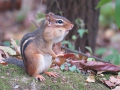 chipmunk with full cheeks (Explored) (Cheryl Dunlop Molin) Tags: chipmunk cheekpouches rodent mammal easternchipmunk mammalsofindiana indianawildlife tamiasstriatus fall
