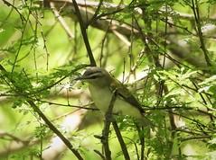 Life Bird:  Red-Eyed Vireo! (Ruby 2417) Tags: vireo bird wildlife nature life lifer rare rarity shade south padre island gulf coast texas