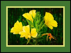 September Wildflower (**Jamar**) Tags: wildflowers lakeelsinore landscape blossoms inlandempire inspiration